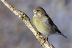 ευρωπαϊκό greenfinch Στοκ φωτογραφίες με δικαίωμα ελεύθερης χρήσης