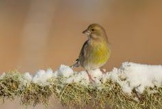 Ευρωπαϊκό greenfinch - chloris Chloris στοκ εικόνες