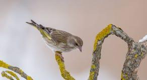 Ευρωπαϊκό greenfinch - chloris Chloris στοκ εικόνες με δικαίωμα ελεύθερης χρήσης