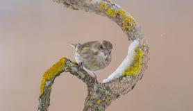 Ευρωπαϊκό greenfinch - chloris Chloris στοκ φωτογραφίες