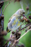 ευρωπαϊκό greenfinch chloris carduelis Στοκ Φωτογραφίες