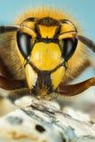 Ευρωπαϊκό Hornet, Hornet, crabro Vespa - ΑΡΣΕΝΙΚΟ στοκ εικόνες