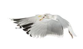 ευρωπαϊκό larus ρεγγών γλάρων argentatus Στοκ φωτογραφία με δικαίωμα ελεύθερης χρήσης
