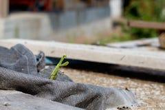 Ευρωπαϊκό Mantis, επίκληση Mantis, religiosa Mantis Στοκ Φωτογραφίες