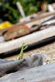 Ευρωπαϊκό Mantis, επίκληση Mantis, religiosa Mantis Στοκ φωτογραφία με δικαίωμα ελεύθερης χρήσης