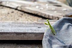Ευρωπαϊκό Mantis, επίκληση Mantis, religiosa Mantis Στοκ εικόνες με δικαίωμα ελεύθερης χρήσης