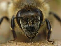 Ευρωπαϊκό mellifera Apis μελισσών μελιού Στοκ φωτογραφία με δικαίωμα ελεύθερης χρήσης