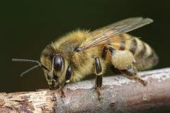 Ευρωπαϊκό mellifera Apis μελισσών μελιού Στοκ Εικόνα