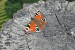 Ευρωπαϊκό Peacock Στοκ Εικόνα