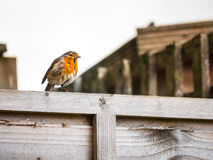 Ευρωπαϊκό Robins Στοκ Εικόνες