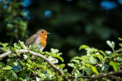 Ευρωπαϊκό Robins Στοκ φωτογραφία με δικαίωμα ελεύθερης χρήσης
