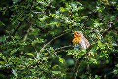 Ευρωπαϊκό Robins Στοκ Φωτογραφίες