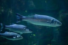 Ευρωπαϊκό seabass Dicentrarchus labrax Στοκ εικόνα με δικαίωμα ελεύθερης χρήσης