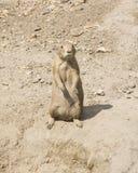 Ευρωπαϊκό Souslik ή αλεσμένος σκίουρος, citellus Spermophilus, που στέκεται στο ξηρό έδαφος, πορτρέτο κινηματογραφήσεων σε πρώτο  Στοκ Φωτογραφία