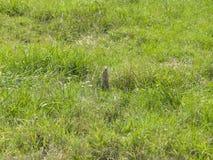 Ευρωπαϊκό Souslik ή αλεσμένος σκίουρος, citellus Spermophilus, στάση στη χλόη, πορτρέτο, εκλεκτική εστίαση, ρηχό DOF Στοκ φωτογραφίες με δικαίωμα ελεύθερης χρήσης