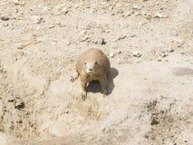 Ευρωπαϊκό Souslik ή ο αλεσμένος σκίουρος, citellus Spermophilus, βρίσκεται στο ξηρό έδαφος, πορτρέτο κινηματογραφήσεων σε πρώτο π Στοκ Φωτογραφία