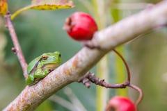 Ευρωπαϊκό Treefrog (arborea Hyla) Στοκ εικόνα με δικαίωμα ελεύθερης χρήσης
