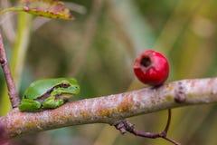 Ευρωπαϊκό Treefrog (arborea Hyla) Στοκ Εικόνες