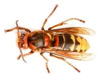 ευρωπαϊκό vespa hornet crabro Στοκ Εικόνες