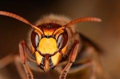 ευρωπαϊκό vespa hornet crabro Στοκ φωτογραφία με δικαίωμα ελεύθερης χρήσης