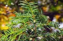 Ευρωπαϊκό yew (Taxus baccata) με τους πράσινους ανώριμους κώνους Στοκ Εικόνες