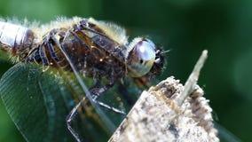 Ευρύς-ένσωματωμένος κυνηγός - έξοχη μακροεντολή φιλμ μικρού μήκους