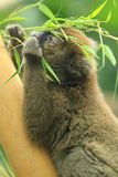 Ευρύς-μυρισμένος ευγενής κερκοπίθηκος Στοκ Φωτογραφία
