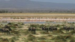 Ευρύς πυροβολισμός πιό wildebeest και flamingoes στα έλη στο εθνικό πάρκο amboseli φιλμ μικρού μήκους