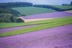 Ευρύχωροι τομείς lavender lavender και πράσινοι τομείς, γεωμετρικές μορφές Στοκ Εικόνα