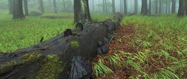 ευρύ δάσος κορμών Στοκ Εικόνες
