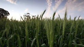 Ευρύ μήκος σε πόδηα γωνίας ενός πράσινου τομέα σίτου που φυσά στον αέρα στην περιοχή swartland στο δυτικό ακρωτήριο της Νότιας Αφ απόθεμα βίντεο