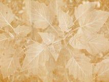 ευρύ φύλλο σφραγίδων Στοκ φωτογραφίες με δικαίωμα ελεύθερης χρήσης
