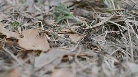 Ευρώπη: αποικία των μυρμηγκιών απόθεμα βίντεο
