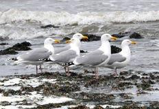 Ευρώπη, Seagulls στο μέτωπο παραλιών Στοκ εικόνες με δικαίωμα ελεύθερης χρήσης