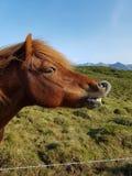 Ευτυχές άλογο στην Ισλανδία στοκ φωτογραφία με δικαίωμα ελεύθερης χρήσης