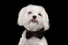 Ευτυχές άσπρο της Μάλτα σκυλί πορτρέτου κινηματογραφήσεων σε πρώτο πλάνο που φαίνεται κεκλεισμένων των θυρών που απομονώνεται Στοκ Εικόνες