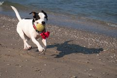 Ευτυχές γραπτό σκυλί στην παραλία στοκ φωτογραφία με δικαίωμα ελεύθερης χρήσης