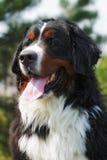 Ευτυχές καλοκαίρι χαμόγελου σκυλιών βουνών Bernese Στοκ εικόνες με δικαίωμα ελεύθερης χρήσης