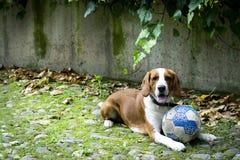 Ευτυχές κοκκινομάλλες σκυλί λαγωνικών, με μια σφαίρα που βρίσκεται στη χλόη Το σκυλί είναι κινηματογράφηση σε πρώτο πλάνο Στοκ Φωτογραφία