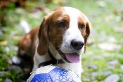 Ευτυχές κοκκινομάλλες σκυλί λαγωνικών, με μια σφαίρα που βρίσκεται στη χλόη Το σκυλί είναι κινηματογράφηση σε πρώτο πλάνο Στοκ Εικόνες