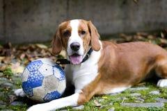 Ευτυχές κοκκινομάλλες σκυλί λαγωνικών, με μια σφαίρα που βρίσκεται στη χλόη Στοκ Εικόνες