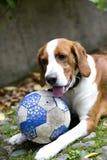 Ευτυχές κοκκινομάλλες σκυλί λαγωνικών, με μια σφαίρα που βρίσκεται στη χλόη Το σκυλί είναι κινηματογράφηση σε πρώτο πλάνο Στοκ φωτογραφία με δικαίωμα ελεύθερης χρήσης