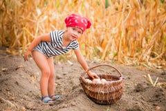 Ευτυχές κοριτσάκι στον κήπο με τη συγκομιδή των πατατών στο καλάθι κοντά στο ξηρό υπόβαθρο καλαμποκιού τομέων Βρώμικο παιδί στο κ Στοκ Εικόνες