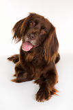 Ευτυχές μακρυμάλλες σκυλί δεικτών στοκ φωτογραφίες