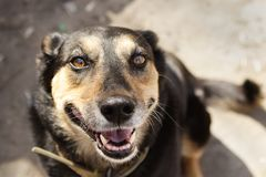 Ευτυχές μαύρο πορτρέτο χαμόγελου σκυλιών Στοκ εικόνες με δικαίωμα ελεύθερης χρήσης