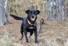 Ευτυχές μαύρο σκυλί φυλής του Λαμπραντόρ μικτό Feist με το πορτοκαλί περιλαίμιο στοκ φωτογραφία