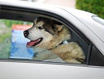 Ευτυχές μεγάλο σκυλί χαμόγελου στο αυτοκίνητο που πηγαίνει στις διακοπές Στοκ Φωτογραφίες