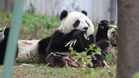 Ευτυχές μικρό Cub της Panda τρώει το βλαστό μπαμπού ευτυχώς απόθεμα βίντεο