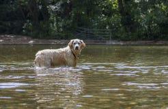 Ευτυχές παιχνίδι σκυλιών στον ποταμό Στοκ Φωτογραφία