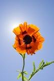 Ευτυχές πορτοκαλί λουλούδι παπαρουνών με την ηλιοφάνεια Στοκ εικόνες με δικαίωμα ελεύθερης χρήσης